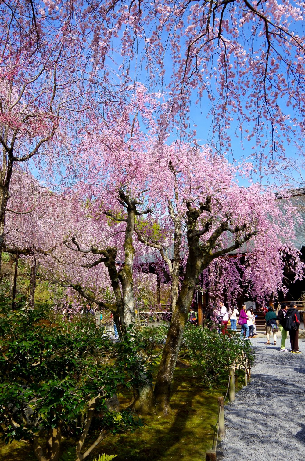 Weeping cherry trees are delicate and graceful