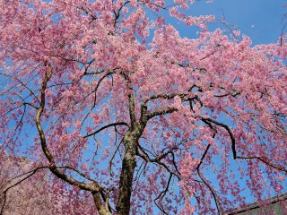 When the gentle breeze sways the flowers tenderly, down come a drizzle of falling cherry blossoms