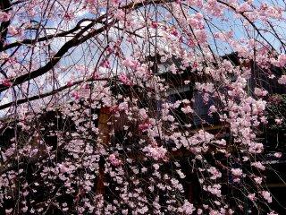 Cerisier pleureur