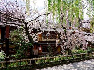 Cerisiers en fleurs, ciel bleu et le calme cours d'eau