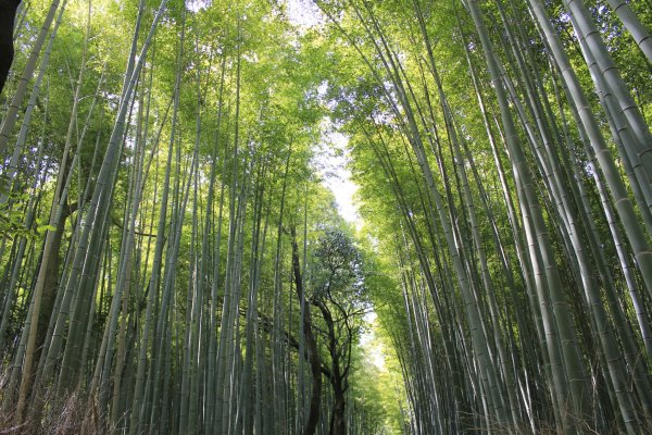 Thousands of bamboo grow in line in Sagano Kyoto
