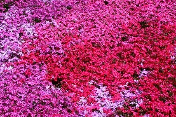 ทุ่งพรม Pink Moss ณ เมือง Abashiri