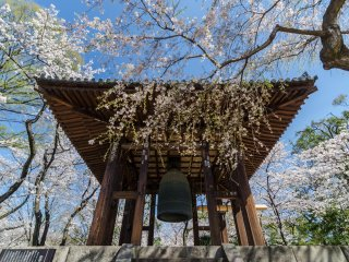 Even Daibonsho (the Big Bell) is surrounded by blossoms! This bell was completed in 1673, making it not only a work of art but an artifact of history.