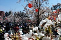 Hoa anh đào ở Sendai Nishikoen