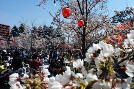 Flores de Cerejeira no Nishikoen de Sendai