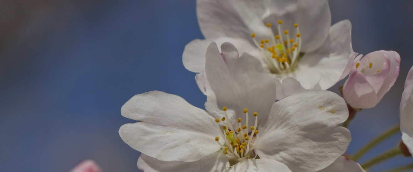 Sakura reach for the sunshine