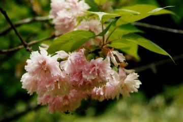 ชมนกและดอกไม้ในปราสาทนิโจ