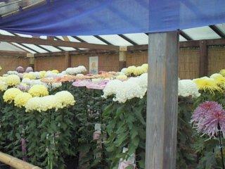 После поля подсолнечников мы также нашли место, где они выращивают хризантемы. Цветы были почти одного роста с нами (не то, чтобы мы самые высокие в мире, но все же!..)