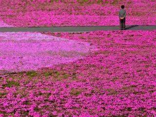 '잔디벚꽃'이라는 뜻의 시바자쿠라는 지면패랭이꽃 또는 꽃고빗과의 다년생 식물을 말합니다. 꽃마다 15cm 밖에 자라지 않지만, 61cm 정도까지 퍼져나간다고 하네요.