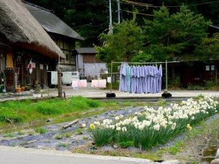 ชุดกิโมโนสีฟ้าตากอยู่กลางแดดของฤดูใบไม้ผลิ