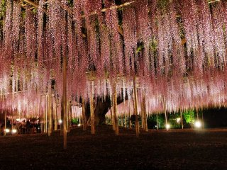 A last snap before heading homewards. The park is just a 1-hour drive from Tokyo, which makes it possible to stay back late in the park which is open until 9 p.m. during the days of the wisteria illumination.