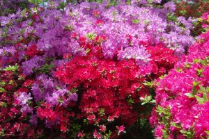 Purple and red flowers are mixed