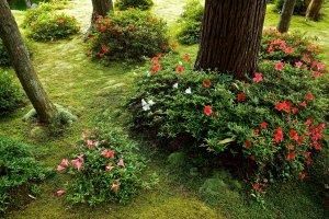 Azaleas in the moss carpeted garden