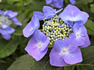 This delicate,lilachydrangea is also known asSeiyo Ajisai (Western type of hydrangea).