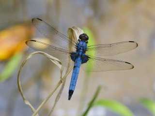Dragonflies abound in summer; this is a male Orthetrummelania (ooshiokara tombo)