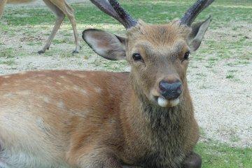 Les Daims du Parc de Nara