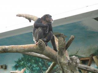 A chimpanzee sits atop a tree