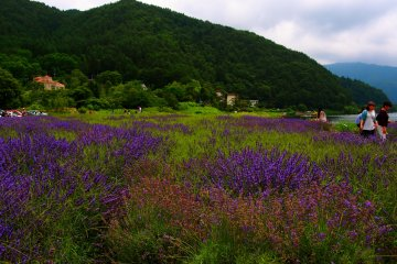 Fujikawaguchiko Herb Festival