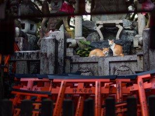 เจ้าแมวลายสลิดส้มคู่นี้ นั่งพักอยู่ที่เท้าของสุนัขจิ้งจอกหิน