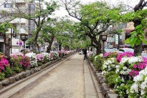 ดอกอะเซลเลียที่ทางเดินสู่ 'ศาลเจ้าซึรุโอะกะ ฮะชิมาน กุ'
