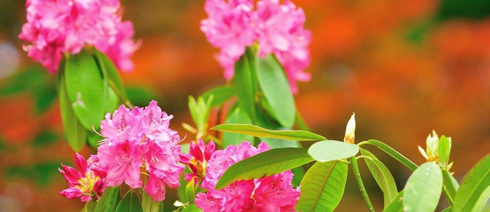 花咲くダルマ寺、勝尾寺