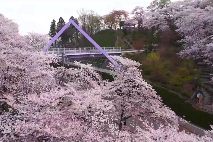 Cherry Blossoms at Nishiyama Park