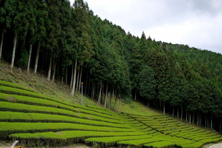Plantations de Thé à Shiga