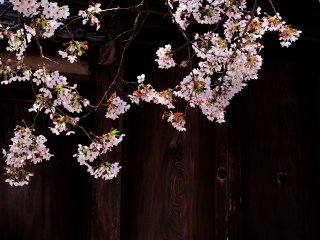 การผสมผสานที่ลงตัวของประตูไม้เก่าแก่และดอกซากุระ