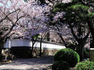 ผมเดินอยู่บนผ้าคลุมบางๆ ของกลีบดอกซากุระ ที่ร่วงหล่นมาคลุมทางเดิน