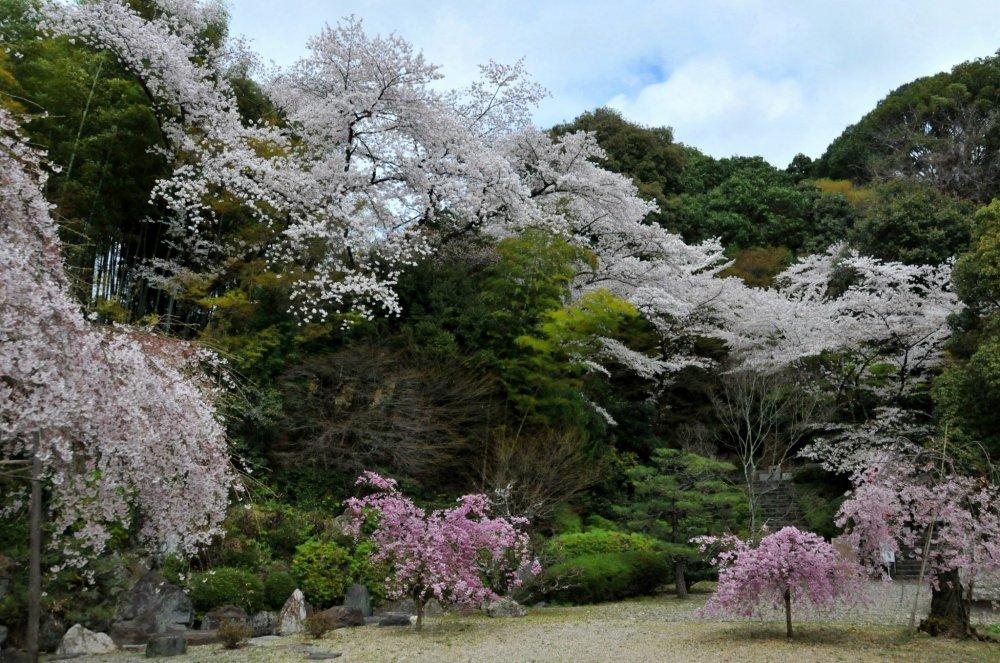 Au début du mois d'avril, au millier de la saison des cerisiers, j'avais le site pour moi seule
