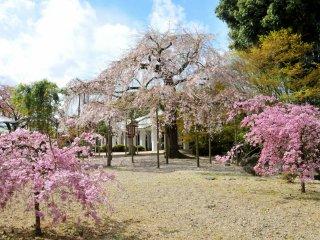 Un cerisier pleureur agrémente le site, juste derrière lui se trouve la forêt de bambous du temple Kodaiji