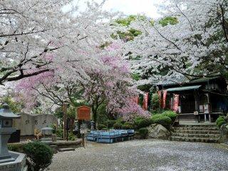Les cerisiers au fond à droite du site sont particulièrement magnifiques