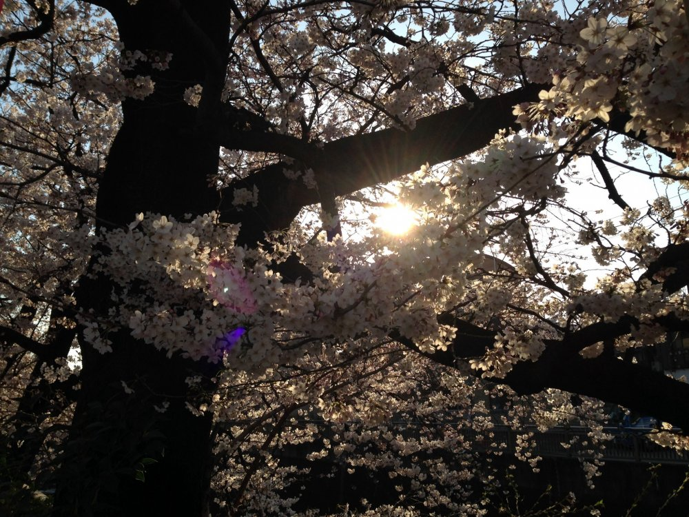 The setting sun behind the cherry blossoms
