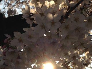 Cherry blossoms enjoying a great sunset