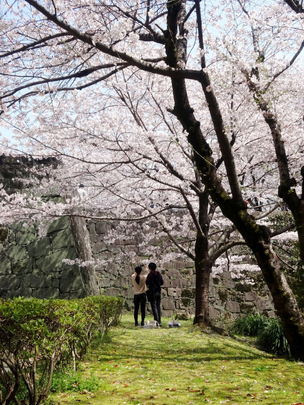 The sakura outside the castle walls are almost more impressive than those within
