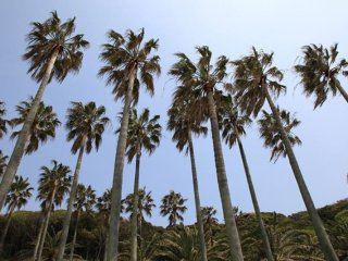 It's hard to believe such scenic views are within a few hours train ride from Tokyo, the beaches are lined with palm trees