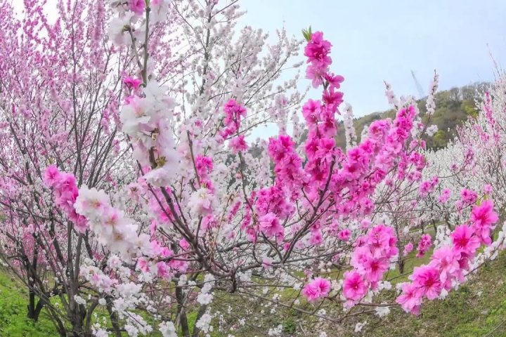 JR勝原駅に咲く花桃