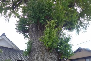There's an ancient ginkgo tree here that's registered as an official natural monument