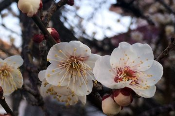 February Plum Blossoms