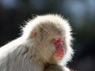ภาพนี้จะเห็นได้ในยามบ่าย หลังจากพวกลิงกินอาหารกลางวันแล้ว พวกมันก็จะอยู่รวมกันเป็นกลุ่ม แล้วผ่อนคลาย พวกมันจะไม่ค่อยวิ่งเล่นเหมือนในตอนเช้า