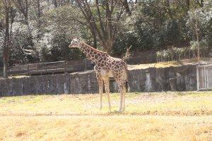 Girafe du Zoo de Higashiyama à Nagoya