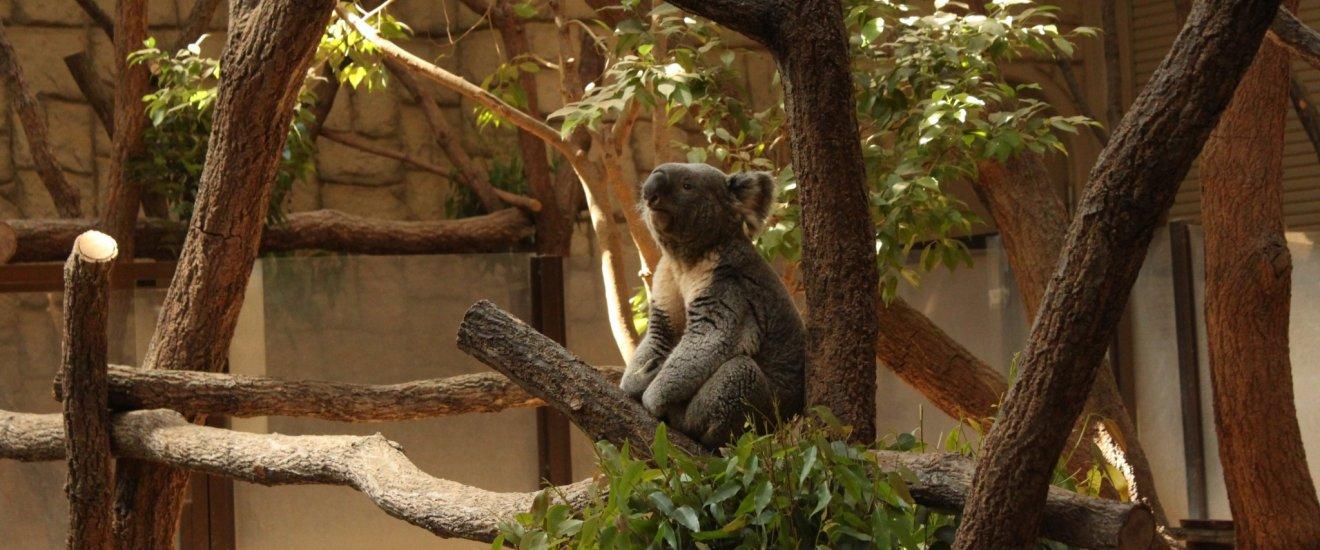 Les koalas sont l\'une des attractions phares du zoo