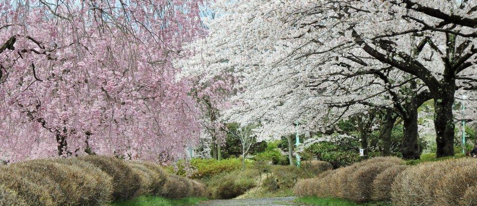 사이타마 히쓰지야마 공원의 벚꽃