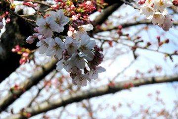 Flores de cerejeira na Estação de Haruki