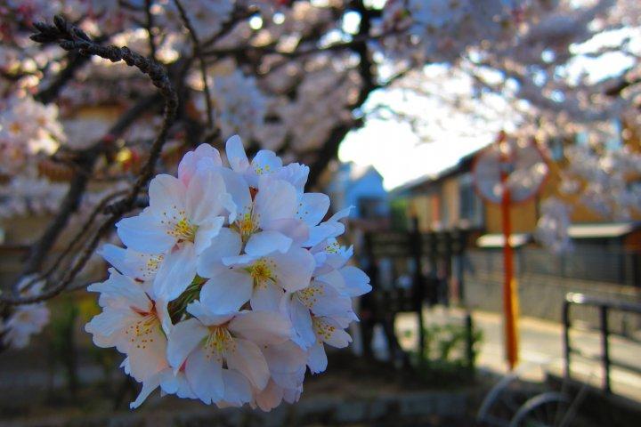 Hanami Spots in Kansai