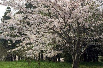 Tenjinyama Park Sakura - Part 1