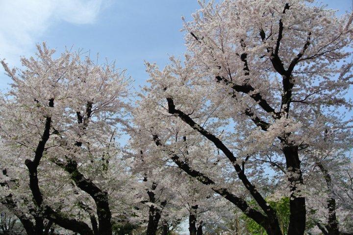 Cherry Blossoms of Asukayama Park
