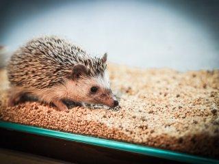 L'un des hérissons les plus introvertis fait une pause dans son terrarium