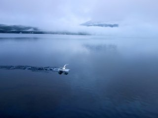 A swan skids across the water, breaking the surface of the lake