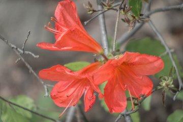 ดอกอะเซลเลียที่ภูเขาทะคะกะวะ